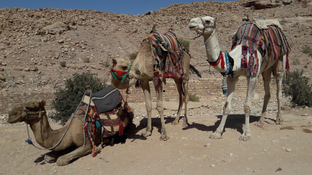 Camels at Petra